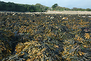 Rocky seashore with Serrated Wrack Fucus serratus