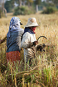 Workers harvesting rice in a rice paddy in rural Cambodia