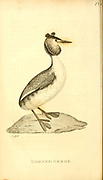 from the 1825 volume (Aves) of 'General Zoology or Systematic Natural History' by British naturalist George Shaw (1751-1813). Shaw wrote the text (in English and Latin). He was a medical doctor, a Fellow of the Royal Society, co-founder of the Linnean Society and a zoologist at the British Museum. Engraved by Mrs. Griffith