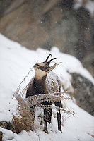 30.10.2008.Chamois (Rupicapra rupicapra) in snowy weather..Gran Paradiso National Park, Italy