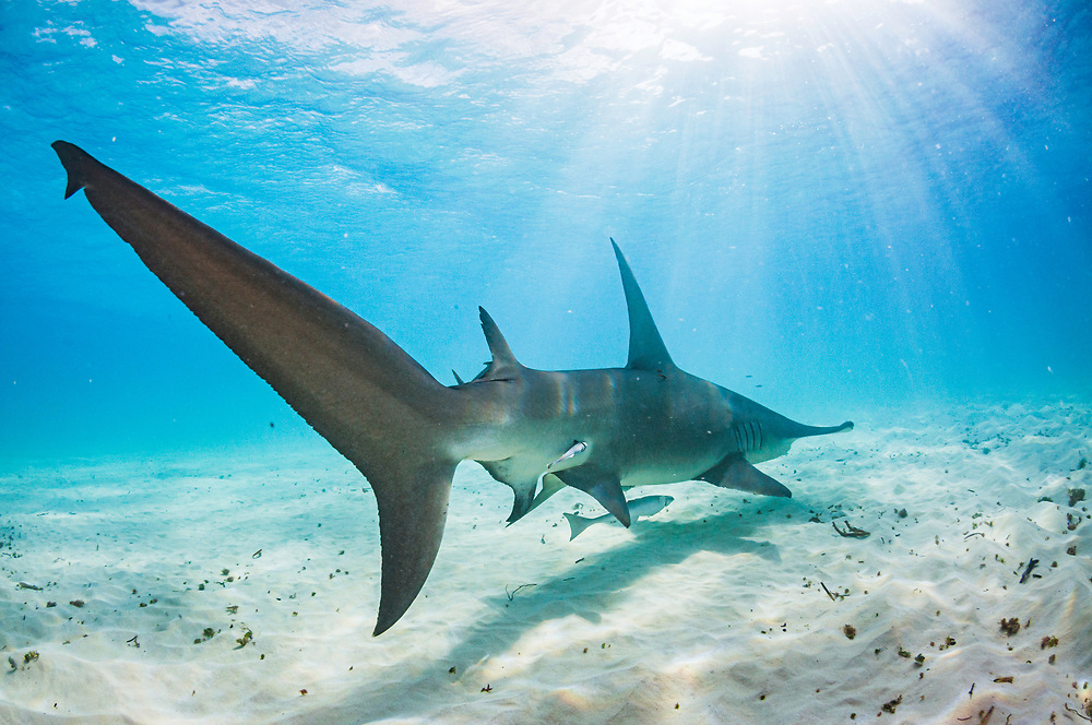 The tail end of a Great hammerhead shark (Sphyrna mokarran) swimming over a sandy seabed, Bimini, Bahamas.