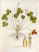 Woodsorrel (Oxalis laxula). Illustration from 'Oxalis Monographia iconibus illustrata' by Nikolaus Joseph Jacquin (1797-1798). published 1794