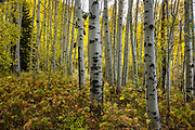 Hike via white tree trunks and yellow aspen fall colors to Booth Creek Falls (4.3 miles / 1400 ft gain) on Booth Lake Trail #1885, near Vail, in Colorado, USA.