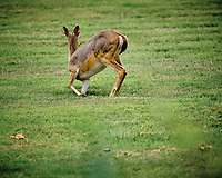 Doe with mange?. Image taken with a Fuji X-T3 camera and 200 mm f/2 OIS lens (ISO 320, 200 mm, f/2.5, 1/480 sec).