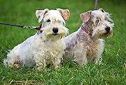 West Highland Terriers, Windsor, England, United Kingdom
