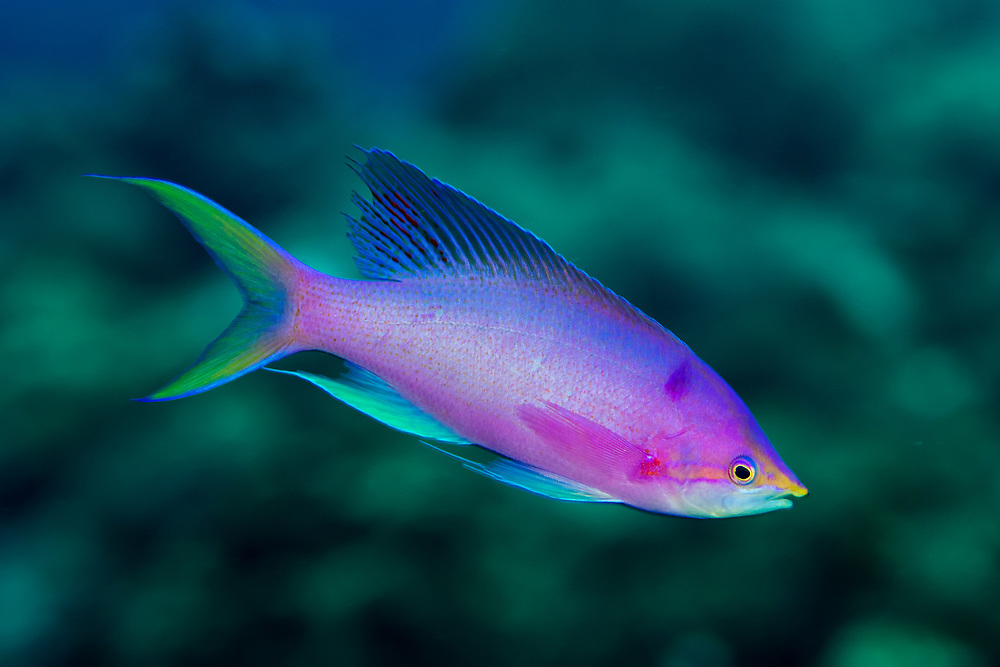 Male purple queen anthias, Pseudanthias tuka, Green Island, a small volcanic island in the Pacific Ocean , Taiwan