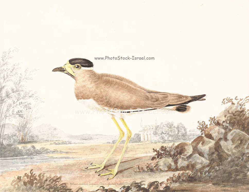 The yellow-wattled lapwing (Vanellus malabaricus) is a lapwing that is endemic to the Indian Subcontinent. It is found mainly on the dry plains of peninsular India and has a sharp call and is capable of fast flight. Although they do not migrate, they are known to make seasonal movements in response to rains. They are dull grey brown with a black cap, yellow legs and a triangular wattle at the base of the beak. Like other lapwings and plovers, they are ground birds and their nest is a mere collection of tiny pebbles within which their well camouflaged eggs are laid. The chicks are nidifugous, leaving the nest shortly after hatching and following their parents to forage for food. 18th century watercolor painting by Elizabeth Gwillim. Lady Elizabeth Symonds Gwillim (21 April 1763 – 21 December 1807) was an artist married to Sir Henry Gwillim, Puisne Judge at the Madras high court until 1808. Lady Gwillim painted a series of about 200 watercolours of Indian birds. Produced about 20 years before John James Audubon, her work has been acclaimed for its accuracy and natural postures as they were drawn from observations of the birds in life. She also painted fishes and flowers. McGill University Library and Archives