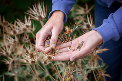 Collecting seed from eryngiums - Sea hollies