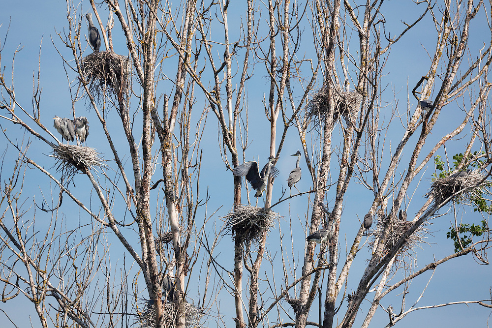 Grey Herons, Ardea cinerea, Latorica backwaters, Eastern Slovakia, Europe, Graureiher Brutkolonie, Ardea cinerea, Slowakei, Europa