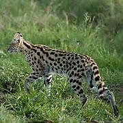 Serval Cat (Felis serval) Hunting in grasses. Serengeti National Park. Tanzania. Africa. February.
