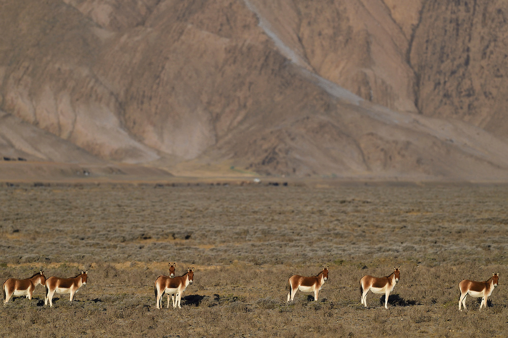 Kiang, (Equus kiang) standing in front of mountains at Wild Yak Valley, Yeniu Gou National Nature Reserve, Tibetan Plateau, Qinghai, China