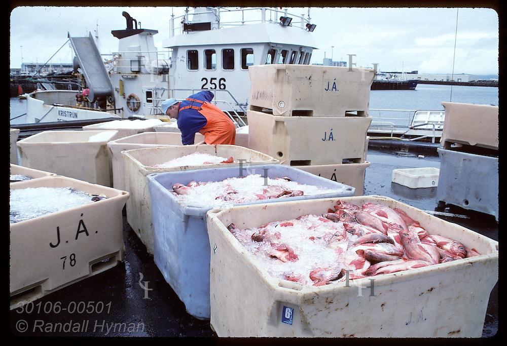Man shovels ice into bins of ocean perch (redfish) being loaded off boat onto dock in Reykjavik. Iceland