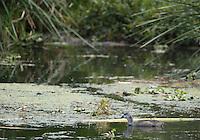 Pied-billed Grebe, Podilymbus podiceps, swimming on San Pablo Lake, Ecuador