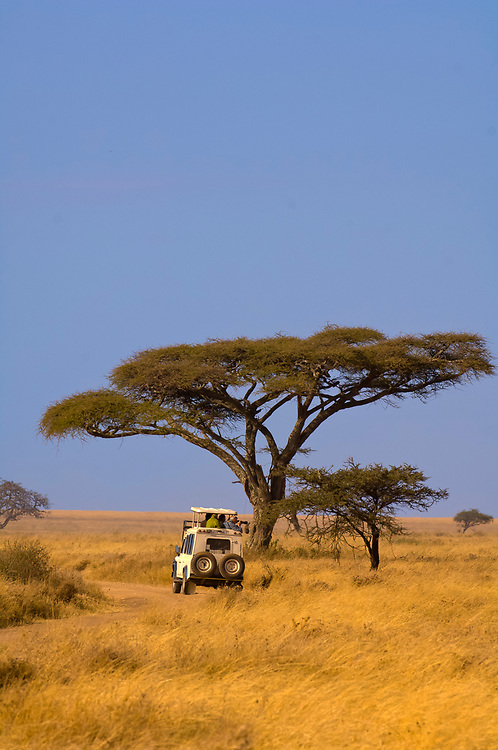 A safari vehicle stops to watch Cape Buffalo with an acacia tree in the background, Serengeti National Park, Tanzania
