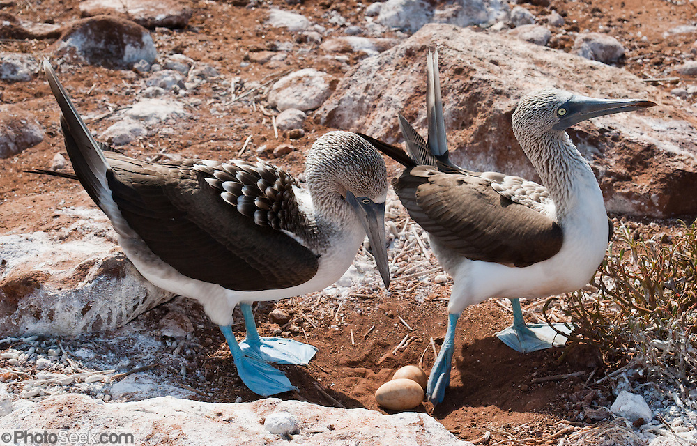 """Blue-footed Booby (Sula nebouxii) parents swap nesting duty on two eggs on North Seymour Island, part of the Galápagos archipelago, a province of Ecuador 972 km offshore west of the continent of South America. A dark pigment surrounding the female's eye pupil makes it look larger than the male's. .The Sulidae family comprises ten species of long-winged seabirds. The name """"booby"""" comes from the Spanish term bobo, which means """"stupid"""" or """"fool/clown,"""" which describes its clumsy nature on land. Like other seabirds, they can be very tame. Blue-footed Boobies breed in tropical and subtropical islands of the Pacific Ocean."""