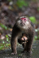 Mother with Baby Tibetan macaque, or Chinese stump-tailed macaque, Macaca thibetana caring and holding her baby, Tangjiahe National Nature Reserve, NNR, Qingchuan County, Sichuan province, China
