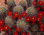 Claret Cup Hedgehog Cactus, Echinocereus triglochidiatus, Zion National Park, Utah.