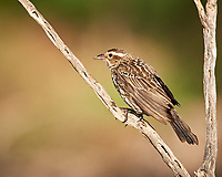 Female Red-winged Blackbird (Agelaius phoeniceus). Campos Viejos, Texas. Image taken with a Nikon D3x camera and 600 mm f/4 VR lens.