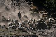 Indian & sheep<br /> Chimborazo Province<br /> Andes<br /> ECUADOR, South America