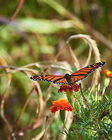 Monarch butterfly feeding on a Marigold flower. Image taken with a Nikon D5 camera and 80-400 mm VRII lens.