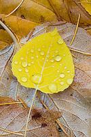 Fallen Aspen leaves (Populus tremuloides), Glacier National Park Montana USA