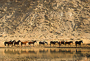 Wild horses and mustangs roam freely in numerous areas of Wyoming. Photographed in their natural settings, the horses fight brutal conditions to survive and prosper.