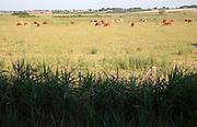 Cattle grazing coastal marshes at Holkham, north Norfolk, England