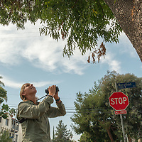Biologist Courtney McCammon studies a Cooper's hawk nest in the Silver Lake neighborhood of Los Angeles, California.
