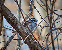White-throated Sparrow. Image taken with a Nikon D3x camera and 80-400 mm VR lens (ISO 400, 400 mm, f/8, 1/320 sec).