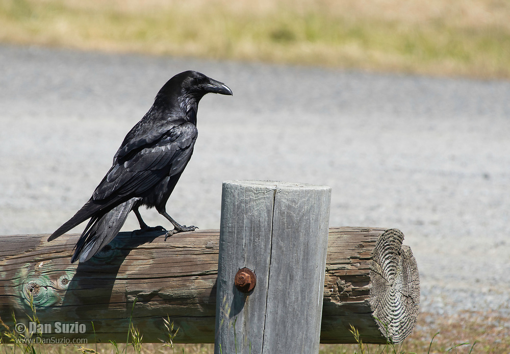 Common Raven, Corvus corax, perches on a fence near Bodega Bay, California