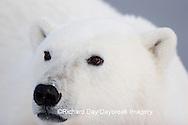 01874-106.17 Polar Bear (Ursus maritimus)  Churchill, MB