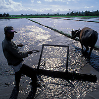 Philippines, Rice farmer and water buffalo rides past rice paddy on water buffalo on Negros Island