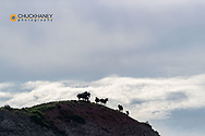 Wild horses silhouetted on hilltop  in Theodore Roosevelt National Park, North Dakota, USA