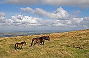 Dartmoor pony mare and foal walking across Dartmoor landscape, Dartmoor National Park