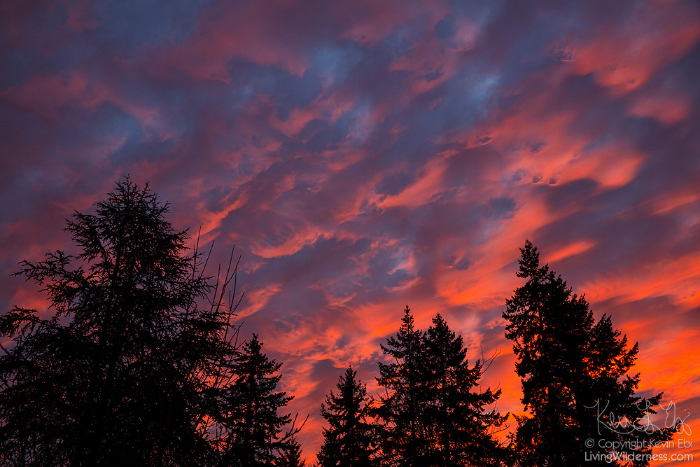 The low-angled red light of sunrise reveals the texture of the bottom of a layer of altocumulus clouds in Snohomish County, Washington.