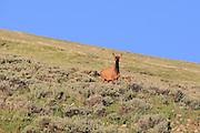 Cow elk on alert in the Bighorn Mountains, Wyoming, U.S.