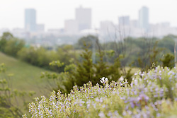 Foxglove penstemon (Penstemon cobaea) on Fort Worth Prairie remnant overlooking downtown, Tandy Hills Natural Area, Fort Worth, Texas, USA. Need ID.
