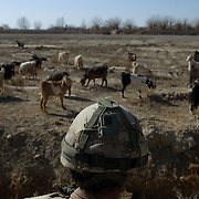 A Canadian soldier scans the ground past a group of goats during a patrol in Pashmul on the front lines in Zhari District located west of Kandahar City, Afghanistan.