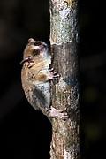 Berthe's mouse lemur (Microcebus berthae)<br /> Kirindy<br /> Southwestern Madagascar<br /> MADAGASCAR<br /> ENDEMIC