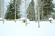65195-036.03 Snow covered fence & Aspen trees in winter Gallatin National Forest near West Yellowstone  MT