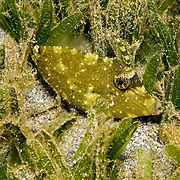 Orangespotted Filefish usually stay near bottom, often hiding in tangles of branching coral and gorgonians in Tropical West Atlantic; picture taken St. Vincent.