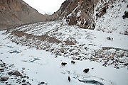 Yak caravan lead by Sarfraz and Shoh Nawoz, both Wakhi people from Sarhad...Trekking up the Wakhan frozen river, the only way up to reach the high altitude Little Pamir plateau, home of the Afghan Kyrgyz community.