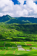 Taro fields in Hanalei Valley, Island of Kauai, Hawaii