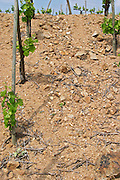 The vineyard of Pierre Gaillard in Malleval where he makes wines of the appellations Cote Rotie, Condrieu, and Saint Joseph.  On the plateau, high lying land, above the actual Rhone valley along the river. A young vine, maybe three years old. A closer look at the sandy and pebbly soil. This particular vineyard is in Saint Joseph.   Domaine Pierre Gaillard, Malleval, Ardeche, ardèche, France, Europe