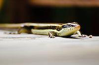 Long Tailed Skink, Mabuya longicaudata