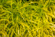 Yellow and green tropical grasses blurred to make a background.