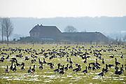 Nederland, Ubbergen, 27-1-2017 Wilde ganzen in de Ooijpolder. Elk jaar overwinteren tienduizenden ganzen in de Gelderse Poort en de uiterwaarden langs de rivier de Waal. Zij voeden zich met gras, vaak tot ergernis van boeren, veehouders die hun vee in de lente en zomer buiten willen laten grazen. Ook zijn de vogels verspreiders van het vogelgriepvirus.Foto: Flip Franssen