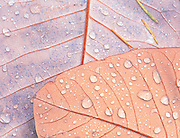 Waterdrops on magnolia leaves