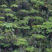 Tree ferns growing along a road near La Confiance in Reunion Island, France