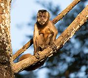 Black-capped capuchine (Sapajus apella) from Pantanal, Brazil.